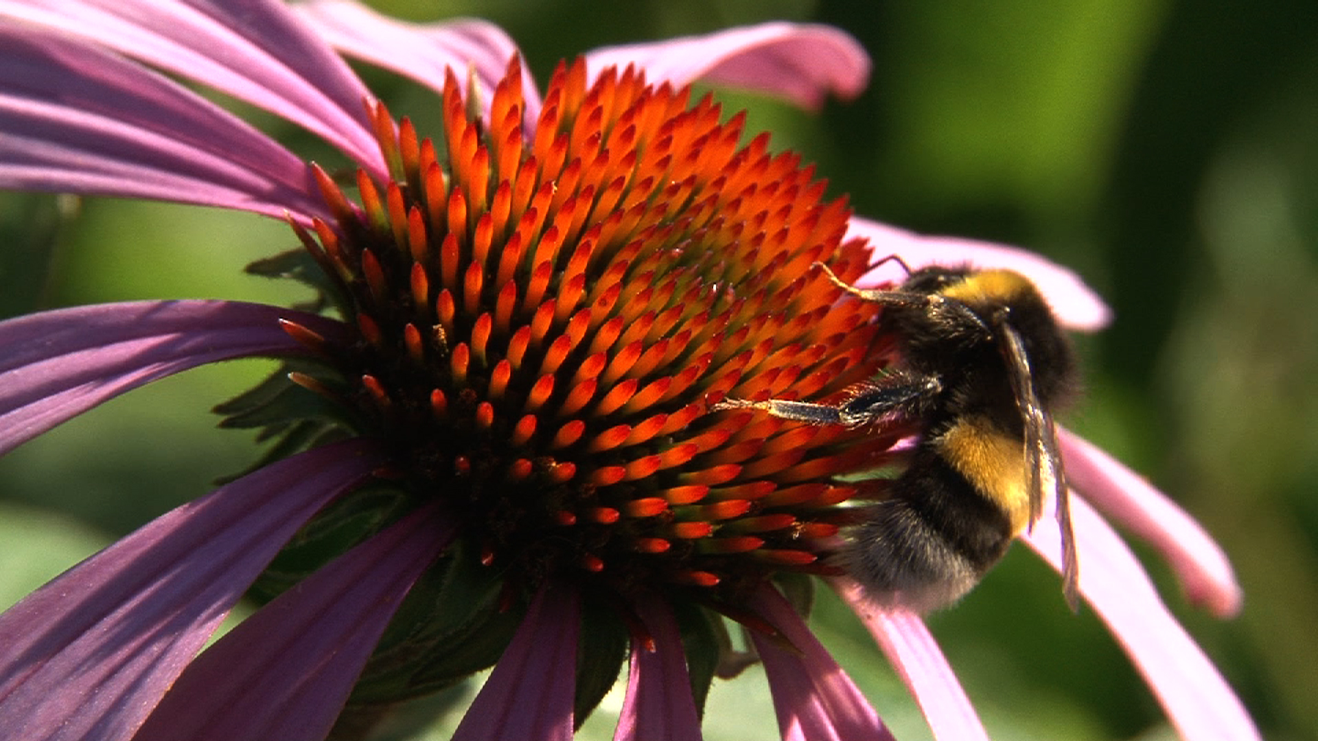 La derniere des abeilles
